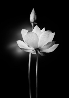 white lotus flower | Poster